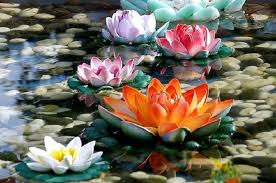 the complete of the lotus flower nature babamail