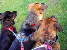 affenpinscher ottawa minature australian shepherd puppies ottawa ottawa gatineau area