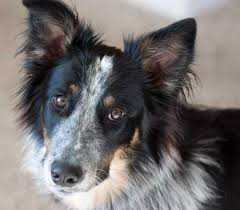 australian shepherd wolf we u0027re all canines aren u0027t we wolf dog and fox rp open page 2