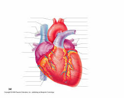 Abdominal Anatomy Quiz Heart Anterior Gross Anatomy