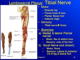 Foot Anatomy Nerves Spinal Cord U0026 Spinal Nerves Ppt Video Online Download