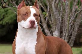 american pitbull a terrier the american pit bull terrier everything you need to know urdogs
