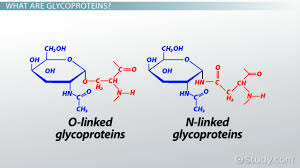 what are glycoproteins definition functions u0026 examples video