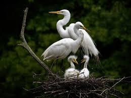 nesting egrets myrtle beach