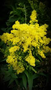 plants for native bees 63 best solidago og solidaster gyldenris images on pinterest