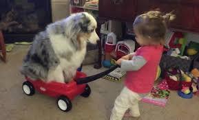 australian shepherd funny little gives australian shepherd a wagon ride around the room