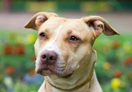 are pit bulls dangerous dog bite statistics
