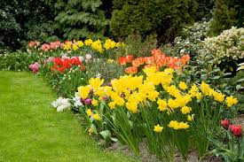 spring bulbs how to care for spring bulbs spring blooming bulbs
