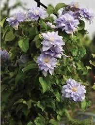 Blue Flower Vine - clematis crater lake double blue flowers perennial vine plant ebay