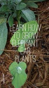 growing elephant ear plants gardening channel