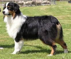 australian shepherd pictures tri color australian shepherd would be a nice addition to our blue
