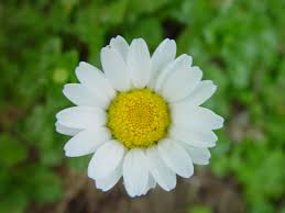 free picture daisy flower green background