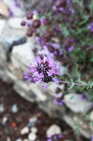 native plants claremont 25 best berries and flowers purple blue images on pinterest