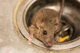 how to get rid of rats naturally natural rat repellent guide