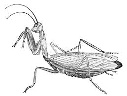 file psm v04 d731 praying mantis jpg wikimedia commons