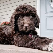 doodle doo labradoodles best 25 chocolate labradoodle puppies ideas on