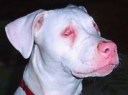 Blind Great Dane Double Merle Great Dane No Eyes This Double Merle Dog Was Born