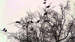a murder of crows hd