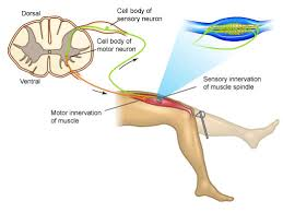 Knee Reflex Arc What Is A Two Neuron Arc Socratic