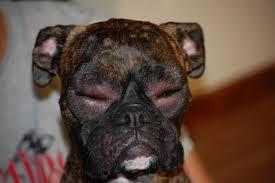 boxer dog health questions allergic reaction swollen eyes u0026 hives boxer forum boxer