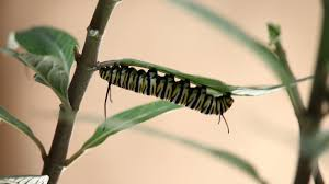 monarch cycle from caterpillar to butterfly