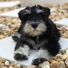 affenpinscher for sale canada puppies for sale