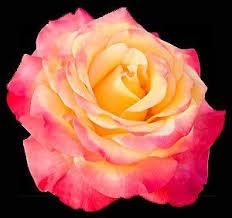 orange roses come true yellow and orange roses
