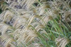 miscanthus nepalensis himalaya grass