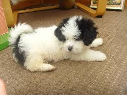 bichon frise names male shichon shih tzu and bichon frise mix