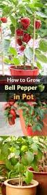 How To Grow Vegetables by How To Grow Bell Peppers In Pots Bell Pepper Pepper And Spaces