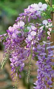 texas purple japanese wisteria monrovia texas purple japanese