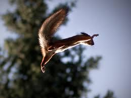 mammiferi volanti sciurus vulgaris il dolcissimo scoiattolo immagini curiosit縲 e