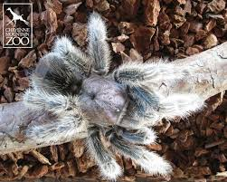 Our Big Backyard by Meet Marshmallow Our Chilean Rose Hair Tarantula Located In My