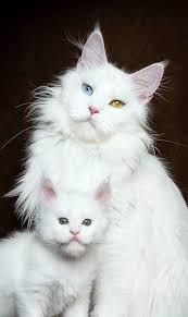 gatti persiani bianchi maine coon and robert sijka maine coon cats