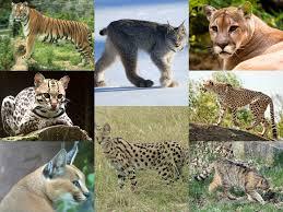 felidae wikipedia