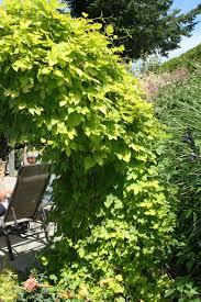 nugget ornamental hops plant library pahl s market apple