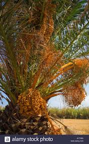 Palm Trees Fruit - what orange fruit grows on palm trees all the best fruit in 2017