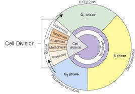 Mitosis And The Cell Cycle Worksheet Cell Cycle Thinglink