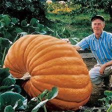 2018 true pumpkin seeds big squash ornamental gourds seeds