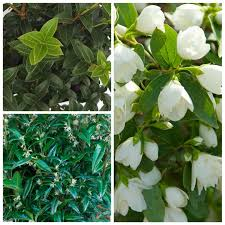 all year fragrant collection all trees and shrubs trees shrubs