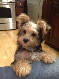 image result for morkie haircuts pictures puppies and their