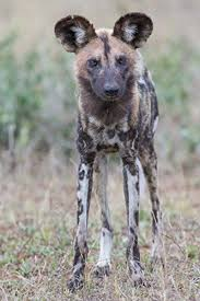 safari ltd african wild dog african wild dog gifts and collectibles kritters in the mailbox
