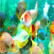 ornamental fish buy in nashik