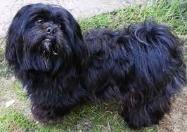 55 best lhasa apso images on lhasa apso puppies and