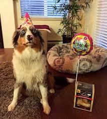 australian shepherd happy birthday happy birthday u2026 or not ilovedogsandpuppies