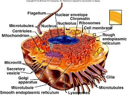 Anatomy And Physiology Place A Composite Cell Ehs Anatomy U0026 Physiology A