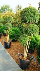 Topiary Cloud Trees - 186 best topiary u0026 parterre u0026 hedge images on pinterest