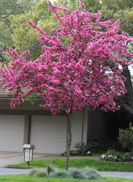 Tree With Purple Flowers 7 Spectacular And Practical Spring Flowering Trees