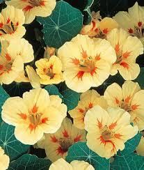 nasturtium flowers melba nasturtium seeds and plants annual flower garden at