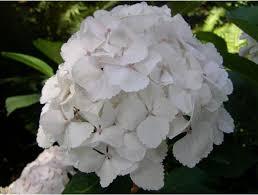 White Hydrangeas Hydrangeas Flowers With Light Pink Dots In The Centers Jpg